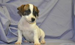 1 male Jack Russell puppy, born Sept. 6th, his parents are both pure bred Jack Russells, extremely friendly, highly intelligent, great companions, very loyal, ready to go to their new homes now, 1st set of shots, dewormed, Vet. checked health papers,