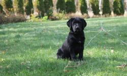 1 male lab pup left, ready to be taken home to a new family! Pups were born July 20th, so he is about 12 weeks. He has been vet-checked with first shots. Mother is a purebred yellow lab without papers (a photo of her has been uploaded) and father is a