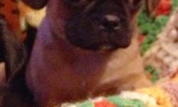 1 male left and ready to go now with vaccines, de-worming, vet check, revolution treatment and puppy pack. Looks like a puggle only smaller and quieter. Well socialized little boy that will make a great family pet!