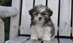 1 female tri-colour Shih Tzu puppy, born Sept. 30th, both parents are pure Shih Tzu,she will be10 to12lbs when full grown, hypoallergenic, nonshedding, excellent companion, great family puppy, 1st set of needles, dewormed, Vet. checked health papers,