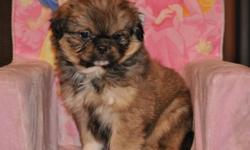 1 male Shih Tzu X Pekingese puppy, 1 male puppy in the first picture, his father is a pure Shih Tzu and his mother is a pure Pekingese she is in the last 2 pictures, hypoallergenic, non-shedding, extremely friendly, loving companion, good with children,