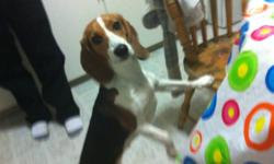 Hi My Name Is Kelly I Have A 1 Year Female Beagle She Is A Great Dog That Loves To Go For Walks, Loves To Be Around People, And Love To Be Played With. Got Her When She Was 5 Months Old Had All Her Shots, She Is Not Fixed, Reason I Am Giving Her Away Is I
