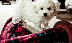 COME AND PICK A PUPPY BEFORE THEY ARE SOLD OUT!! THEY ARE NOW READY TO GO. :D   Buttercup Bichons is the place to find a healthy and happy puppy!  Our Bichon puppies are family raised and are incredibly good with kids!  Our dogs are hypoallergenic and