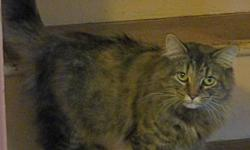 Young medium length haired female tabby. Young short haired female tortie, missing part of her tail. Both cats are spayed, very friendly and used to other pets. They are currently being fostered but are hoping to find their forever homes before Christmas.