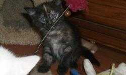 PETS NEED LOVE 2 ADOPTIONS HAS 2 BEAUTIFUL FEMALE KITTEN AVAILABLE FOR ADOPTION, THEY JUST TURNED 6 WKS OLD LAST FRIDAY. THEY ARE EATING AND DRINKING ON THEIR OWN  ALSO USING THE LITTER BOX. THEY ARE USED TO OTHER ANIMALS DOGS AND CATS. THEY WILL COME