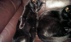 2 female kittens, 6 month old sisters. Very lovable and must stay together.