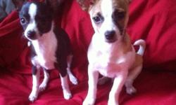 I have two chihuahua pups, both of which I bought first week of September. I bought Cleo(black and white, female, origin red deer) to keep Otis(brown and white, male, origin Edmonton) company while I was working. Since September I have been reassigned in