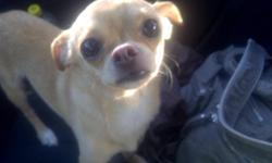 2 Chihuahua's for sale - Female Puppy ( Bella ) will be 3-4 lbs once fully grown asking $600.00 Adult Male ( Roscoe ) is fully grown and 3yrs old asking $200.00 Serious inquiries only!