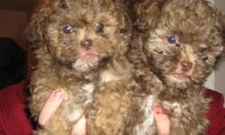 These shih tzu poodles are hypoallergenic, cute, and adourable, the two left are both males, they have the most beutiful blue eyes, these puppies both are full of energy but at the same time love to cuddle, they also love to give kisses, they are almost 8