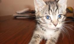 2 female tiger stripe kittens to give a way to a good home litter trained can eat and drink on there own they will be ready to go on the 19 th of december just in time for Christmas :) these cute cuddly and playful kittens would make a great christmas