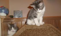 2 twin kitty Sisters from Newfoundland available, They are vet checked, vaccinated and dewormed! They need a home together if possible, Their previous owner wanted to drown them, but we took them off her hands in hope of finding them a new forever home!