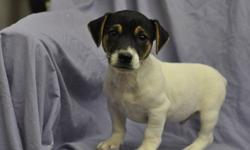 2 male Jack Russell puppies, born Sept. 6th, their parents are both pure bred Jack Russells, extremely friendly, highly intelligent, great companions, very loyal, ready to go to their new homes now, 1st set of shots, dewormed, Vet. checked health papers,
