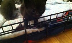 Hello   I have 2 kittens maybe 3 looking for their forever homes. Im looking for only good homes for them. I need someone really commited to having them and loving them forever. This litter was not intentional at all!!! It was pure accident!   I see all