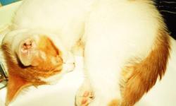 i have 2 kittens left both have their own individuale personalities   orange/white - male - very loving an a big cuddler great with kids other cats/ small doggs shys away from big dogs still very unsure    white/orange/black - female - very shy but once