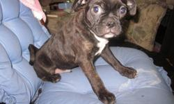 We have 2 beautiful brindled male boston terrier/pug puppies for sale. They have been raised in our home, with our children. Their mother is a half and half bugg and their father is 3/4 boston, 1/4 pug. They are both brindled to some extent, with one