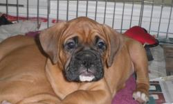2 Male Boxers, born Oct 9th & ready to go at 9 weeks old. One flashy fawn and one fawn with black mask. Tails and dew claws done, first shots, vet check and up to date deworming. Fed a grain free / raw diet and well socialized. Call for more info 778 478