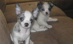 I have 2 male chihuahua pups for sale. One is a short hair and one is long hair they are both white with blue merle patches, very unique coloring. They have had their first set of shot and have been dewormed. I am not a registered breeder we just had an