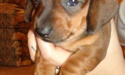 Puppies are 5 weeks old today! They are looking great and eating and playing lots!   I am looking for a great and loving home for my 2 male miniature dachshunds. Puppies will not beable to leave until December 15th would be a great christmas present! I