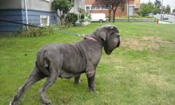 We have 2 beautiful Blue Neapolitan Mastiffs. One male, Diesel, who is 4yrs of age. One female,  Julia, who is 5.  They are both very strong, healthy dogs with champion blood lines.  For further inquires please contact us at 604.518.6659