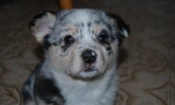I still have one female and one male Pembroke Corgi left. Both Puppies come from excellent parents. They are papered and originally from Texas. They have good herding sense yet that make great house dogs. They come with their first vaccinations and a