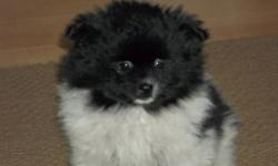 I have 2 female Pomeranian/Japenese Chin puppies left for sale.They have been dewormed 3 times.Not needled.They will mature 10-12 Lbs.They were born Oct.21,2011.Phone calls preferred.Phone 902-467-0602. Price of white pup is 300.00.Black&White one is