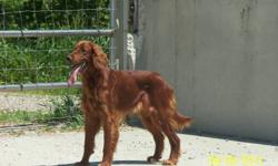Due to the sale of my home I need to rehome my two irish red setters within the next 6 months.  Ankor is a 12 year old male, fully house trained, but still has plenty of energy. Eunice is coming upto her 2nd birthday, she has excellent breeding and is a