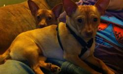 Two purebred chihuahua's for sale. We are extremely sad to see these dogs go, but due to allergies to a family member we can no longer keep them and must go ASAP. They are trained to go outside and will let you know, they are extremely loving and