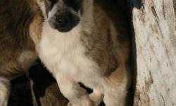 Jade and Aiden had a litter of 8 Purebred German Shepherds. There is 7 females and 1 male, There is ONLY 2 FEMALES LEFT.   They were 8 Weeks on Sunday October 30.   I own both mother and father and they have wonderful temperments, extremly loyal and