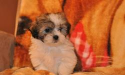 2 female Shih Tzu X Maltese puppies, in 2 pictures each, their father is a Maltese and their mother is a Shih Tzu, they will be 8 to 10lbs full grown, hypoallergenic, non-shedding, good with children, great companions, highly intelligent, ready to go to