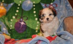 2 male Shipoo puppies, there is 3 pictures of each puppy, their father is a 13 lb pure miniature Poodle and their mother is a 12lb pure Shih Tzu, hypoallergenic, non-shedding, good with children, extremely friendly, highly intelligent, great companions,