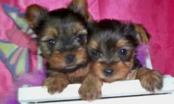 """These adorable little fur babies were born to our beautiful AKC/CKC registered 5 pound (steel blue and blond) Yorkie Mom """"Tinkerbella"""" & """"Tucker"""" is our (black & gold) teddy bear faced 4 pound Daddy. Both are our happy go lucky, and fun loving family"""