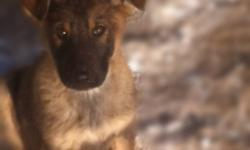 TWO absolutely stunning Dark Sable females,(one pending) From  Czech and DDR bloodline. Registered under Alphapack German Shepherds.This pedigree is loaded with world famouse working line and police dogs. Don't miss out on these incredible puppies   A