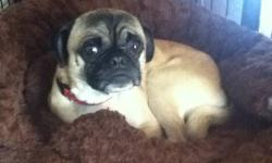 We are selling our 2 year old pug mix to a good home. He come with cage and is crate trained. He's also very good with kids as I have two of my own. If interested we are selling him for 150.00 firm. Please contact Jackie (519)365-2998.