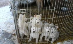 5 left mom had 8 there are 2 girls and 3 boys. These are big kids so if you want a small to meadem dog don't look at these. Mom is 136 lb. dad 85 lb. and I kept a boy from last years litter he was 105 lb. on his frist b-day.The 3 boys are white the girls