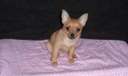 tan &black female pup who is mostly chihuahua than pom,she is 8 1/2 weeks old & weight in at 1lbs, learning to go on paper, and has been deworme, very cute & playful ! for more info please send a message