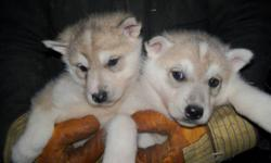 2 girls 3 boys, grey in colour, 2 of the boys have each a brown eye and a blue eye, parents are working dogs, have first vaccinations and deworming mother has the wolflike heritage