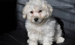 3 male Bichon X Poodle puppies, 2 pictures of each puppy. The father is a pure bred 13 lb Poodle, the mother is a pure bred 12 lb Bichon. Hypoallergenic, non-shedding, great with children, good companion, extremely friendly, ready to go to their new homes
