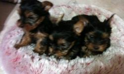 We have 3 beautiful male yorkies available. (1 Sold) They are CKC registered. Micro-chipped, vet checked, dewormed, and given their first set of shots. They will come with a starter puppy pack and 6 weeks free pet insurance. as well as a 1 year garauntee