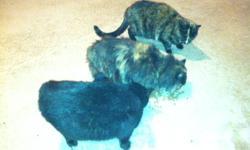 3 BEAUTIFUL FIXED FARM CATS! NEED A GOOD HOME!