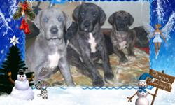 3 Great Dane Puppies looking for a home for Christmas raised in our home with kids and other pets  both parents are on site we have 1 male Black Left asking $450 and 2 Male Brindle pups asking $800 call 705-848-4398 or 705-849-7398 Delivery can be