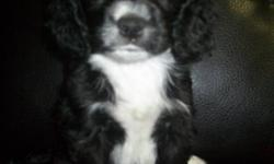 I have 3 little darlings left looking for their forever family.   2 males, Duke and Coca (275.00)  and 1 female Oreo (350.00)   Mom is a  smaller cocker and dad is a  papillon (contenental toy spaniel) Both dogs make amazing family pets. Our goal was to