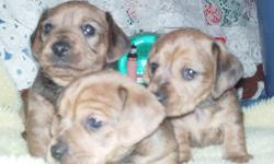 3 Male Dorkie *Daschund / Yorkie Mix* Puppies For Sale! Adorable Little Guys! Inbox For More Info. $400.00 Dewormed