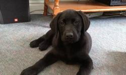 ** Update **   Only 1 Black Male available... last little guy to go - he will be a hard one to give up.  He sleeps in his kennel all night and has his basic commands.    We know we have great labs and therefore offer..... Lifetime Warranty Lifetime Return