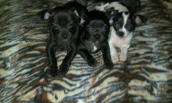 3 pure bread short haired chihuahua puppies, Born September 26, 2011 in need of good homes. Im asking $350 cash / puppy. Price includes all their first shots & checkups. The 2 black ones are males, and the white and black female. All 3 puppies are trained