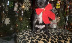 Ho Ho Ho what agreat gift we will make for the Holiday Season, My mother is a Blue fawn and my father a Choc. We are using training pad and run to it each and every time.We love children and are very happy to find a new loving home and the vet of your