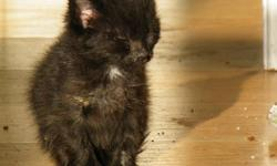 Hi, I have 3 seven week old kittens looking for the best of homes. I have hand raised these kittens from just 4 days old when their mother couldnt produce any milk. It is certainly a incrediable that they are still alive at such a young age with no