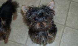1 Female Yorkie and 2 male yorkies left. CKC registered, microchipped, shots, vet check, dewormed, puppy pack and a 1 year genetic life threatening guarantee. Must sign a nonbreeding contract at time of purchase. Female -$1400.00 Males - $1250.00   These