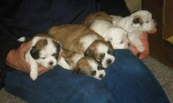 I have 4 Male Pups for sale to a loving home just befor Christmas , they come with a first visit, shots, and deworming !