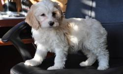 4 Cockapoo puppies, born Oct. 14th, 3 females in the first 3 pictures, 1 male in picture 4, their mother is in the last picture, non-shedding, hypoallergenic, good with children, highly intelligent, extremely friendly, ready to go to their new homes now,