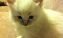 4 Beautiful, precious little ragdolls available soon. **update Nov 29, 3 spoken for already by deposit, Only 1 left (last male)!!! Act fast** Pictures are 100% authentic of the kittens I have available at the moment. Act fast, the last litter I had sold